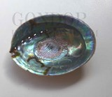 1pc Paua shell natural