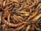 Roasted Mealworms Plain- LARGE