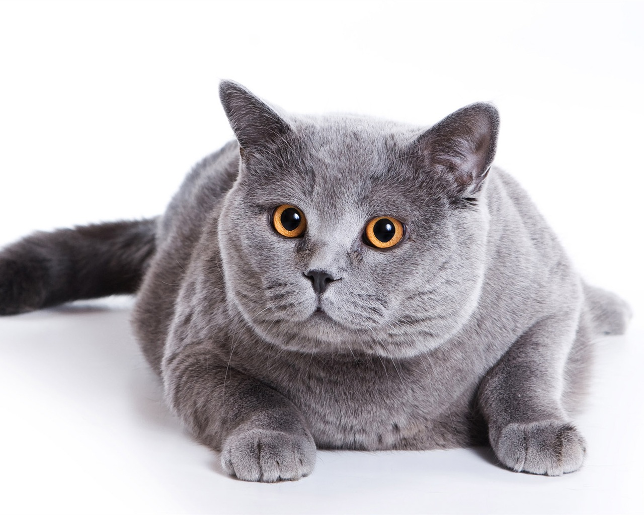 Is Your Cat The Correct Weight?