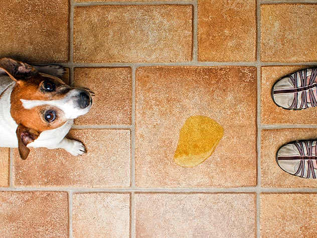 Dealing With Dogs With Incontinence
