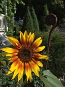 Sunflower 'Autumn Sunset'