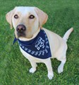 Guide Dogs WA HangDog Art Limited Edition Doggy Bandana