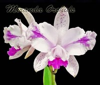 Cattleya intermedia flammea 12 x sib select - RESTOCK