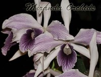 Laelia purpurata werkhauseri striata x sib select - NEW