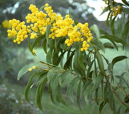 Acacia pycnantha - Golden Wattle Blerick Trees Buy Online ...