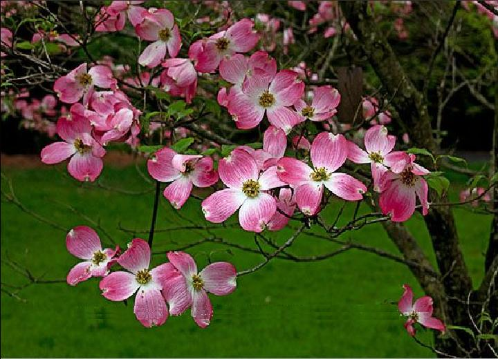 cornus florida rubra pink dogwood tree blerick trees buy. Black Bedroom Furniture Sets. Home Design Ideas