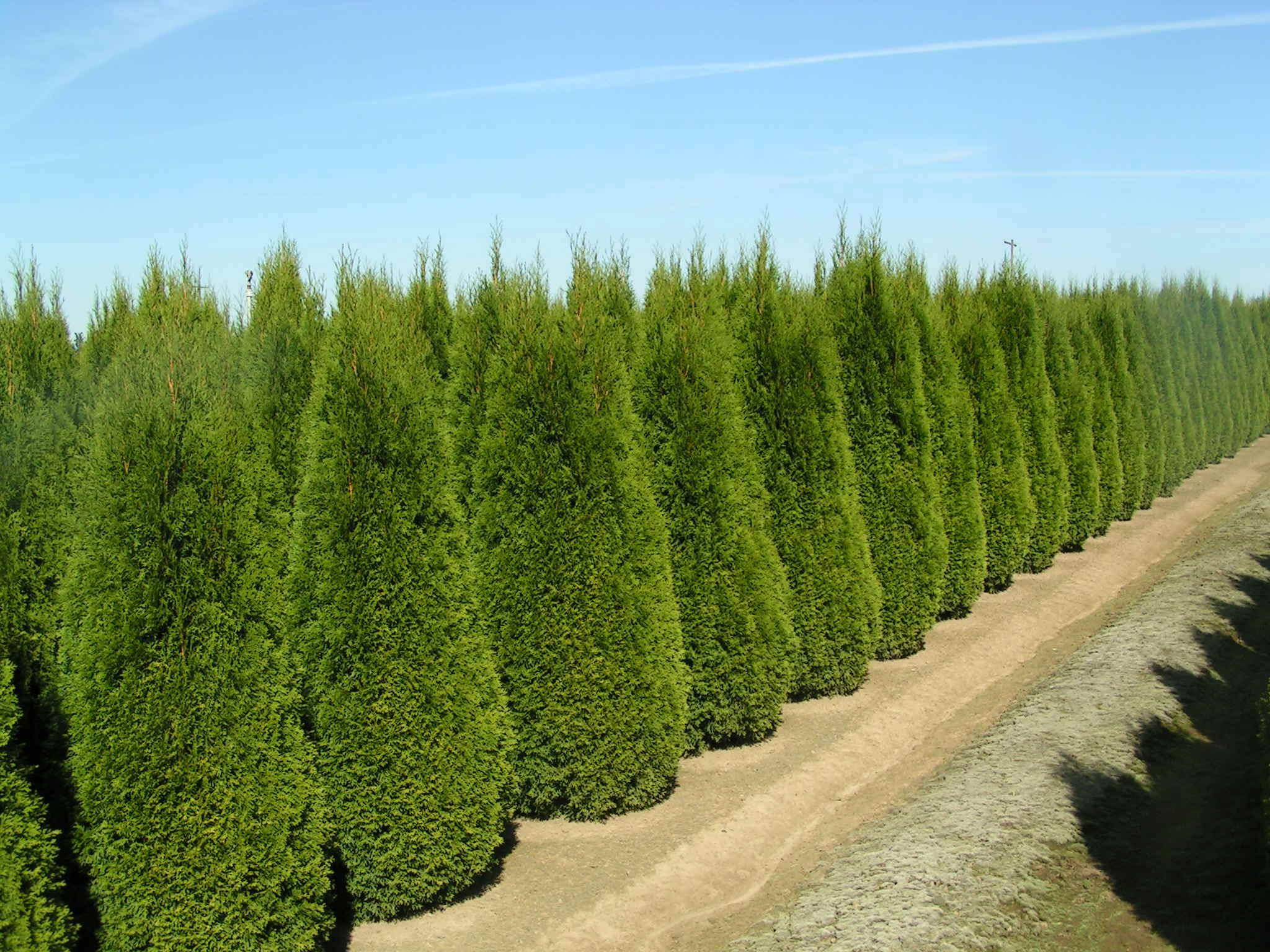 Thuja occidentalis smaragd conifer blerick trees buy for Arboles frondosos para jardin