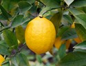 Citrus limon - Lemon Meyer