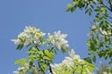 Fraxinus ornus - Flowering Ash Tree