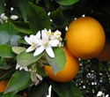 Citrus sinesis - Orange Mediterranean  'sweet orange'