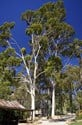 Corymbia citriodora - Lemon Scented Gum