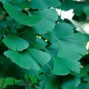 Gingko biloba - Maiden Hair Tree  Ginko Tree