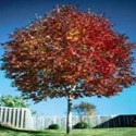 Fraxinus americana 'appldell' - Autumn Applause