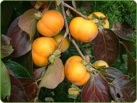 Dai Dai Maru - Persimmon Fruit Tree