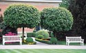 Acer platanoides Globossum - Designer Mop Top  Maple Tree