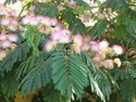 Albizia julibrissin - Persian Silk Tree