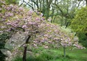 Prunus kiku shidare sakura - Cheals Weeping Cherry - Pink Weeping Cherry