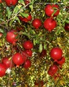 Punica granatum-  Pomegrante