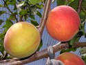 Plumcot/Pluot - Interspecific Plum