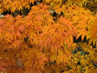 Acer palmatum - Shishi gashira Dwarf Japanese Maple Tree Lions Head