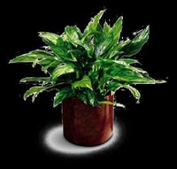 C30-2966S Chinese Evergreen