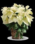 White Poinsettia 8