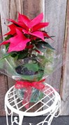 Poinsettia ( December Only)