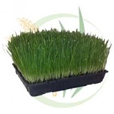 Rectangular Trays of Wheatgrass
