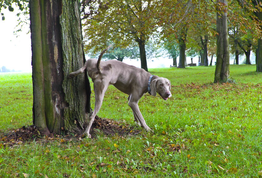 Why dogs lift their legs to pee